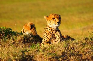 cheetah-737417_1280 - Copy