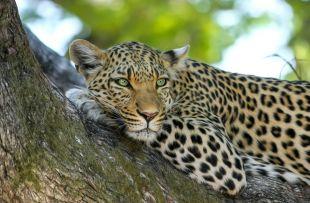 leopard-515509_1280 - Copy
